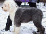 Собаки, щенки Бобтейль, цена 7000 Грн., Фото