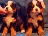 Собаки, щенки Бернская горная собака, цена 3000 Грн., Фото
