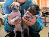Собаки, щенята Китайська чубата собака, ціна 300 Грн., Фото