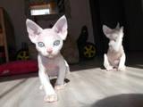 Кішки, кошенята Девон-рекс, ціна 900 Грн., Фото