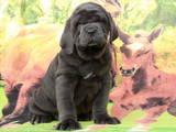 Собаки, щенята Мастіно неаполетано, ціна 10000 Грн., Фото