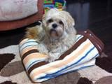 Собаки, щенята Лхаса апсо, Фото