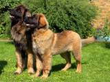 Собаки, щенята Леонбергер, ціна 8000 Грн., Фото