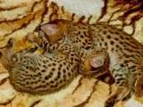 Кошки, котята Гавана, цена 2000 Грн., Фото