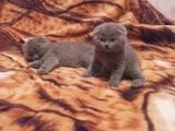 Кошки, котята Шотландская вислоухая, цена 900 Грн., Фото