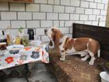 Собаки, щенки Бассет, Фото