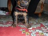 Собаки, щенки Эрдельтерьер, цена 4500 Грн., Фото