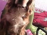 Собаки, щенки Кавалер-Кинг-Чарльз спаниель, цена 1300 Грн., Фото