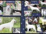 Собаки, щенки Немецкая овчарка, цена 21500 Грн., Фото