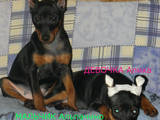 Собаки, щенки Пинчер, цена 4000 Грн., Фото