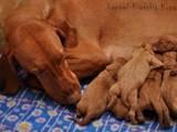 Собаки, щенки Венгерская выжла, цена 10900 Грн., Фото