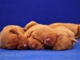 Собаки, щенята Угорська вижла, ціна 10900 Грн., Фото