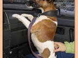 Собаки, щенки Гладкошерстный фокстерьер, цена 1500 Грн., Фото