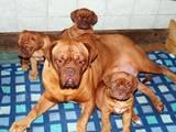 Собаки, щенята Бордоський дог, ціна 6500 Грн., Фото