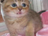 Кішки, кошенята Шиншила, ціна 7000 Грн., Фото