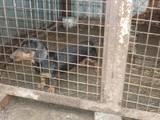 Собаки, щенки Гладкошерстная кроличья такса, цена 1000 Грн., Фото