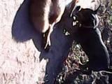 Собаки, щенята Жорсткошерста такса, ціна 1600 Грн., Фото