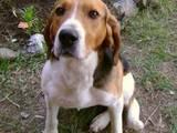 Собаки, щенки Ганноверская гончая, цена 1000 Грн., Фото