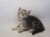 Кошки, котята Шотландская короткошерстная, цена 1200 Грн., Фото