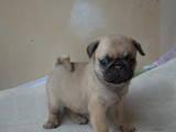 Собаки, щенята Мопс, ціна 2000 Грн., Фото