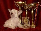 Собаки, щенята Китайська чубата собака, ціна 1000 Грн., Фото