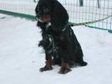 Собаки, щенки Кавалер-Кинг-Чарльз спаниель, цена 4000 Грн., Фото