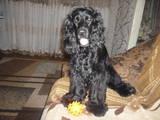 Собаки, щенки Русский спаниель, Фото
