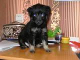 Собаки, щенки Пинчер, цена 50 Грн., Фото