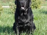 Собаки, щенки Лабрадор ретривер, цена 4500 Грн., Фото