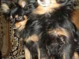 Собаки, щенята Російський довгошерстий тойтерьер, ціна 2000 Грн., Фото