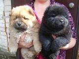 Собаки, щенки Чау-чау, цена 2500 Грн., Фото