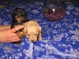 Собаки, щенки Русский гладкошерстный тойтерьер, цена 1800 Грн., Фото