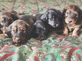 Собаки, щенки Длинношерстная миниатюрная такса, цена 700 Грн., Фото