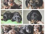 Собаки, щенята Довгошерста мініатюрна такса, ціна 700 Грн., Фото