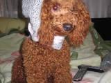 Собаки, щенки Карликовый пудель, цена 2000 Грн., Фото