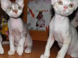 Кішки, кошенята Девон-рекс, Фото