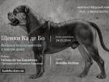 Собаки, щенята Мальоркскій бульдог (Ка Де Бо), ціна 9000 Грн., Фото