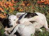 Собаки, щенята Уїппет, ціна 2000 Грн., Фото