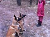 Собаки, щенки Бельгийская овчарка (Малинуа), цена 4000 Грн., Фото