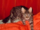 Кішки, кошенята Сибірська, ціна 20 Грн., Фото