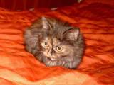 Кішки, кошенята Персидська, ціна 20 Грн., Фото