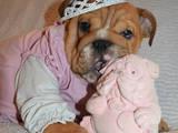 Собаки, щенки Английский бульдог, цена 8000 Грн., Фото