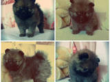 Собаки, щенята Карликовий шпіц, ціна 5500 Грн., Фото