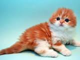 Кішки, кошенята Highland Fold, ціна 5000 Грн., Фото