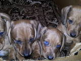 Собаки, щенята Гладкошерста мініатюрна такса, Фото