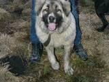 Собаки, щенки Кавказская овчарка, Фото