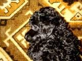 Собаки, щенки Карликовый пудель, цена 800 Грн., Фото