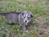 Собаки, щенки Южнорусская овчарка, цена 1000 Грн., Фото
