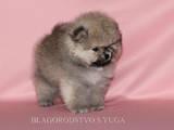 Собаки, щенята Карликовий шпіц, ціна 16000 Грн., Фото