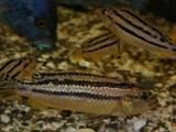Рыбки, аквариумы Рыбки, цена 30 Грн., Фото